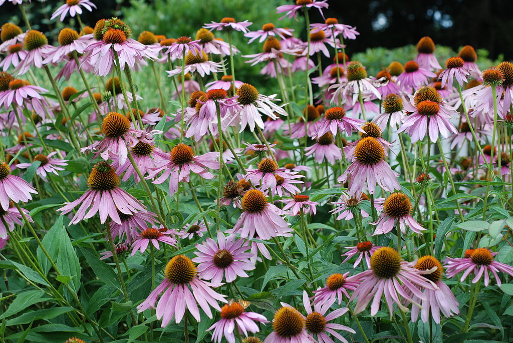 1024px-Purple_Coneflower_Echinacea_purpurea-11